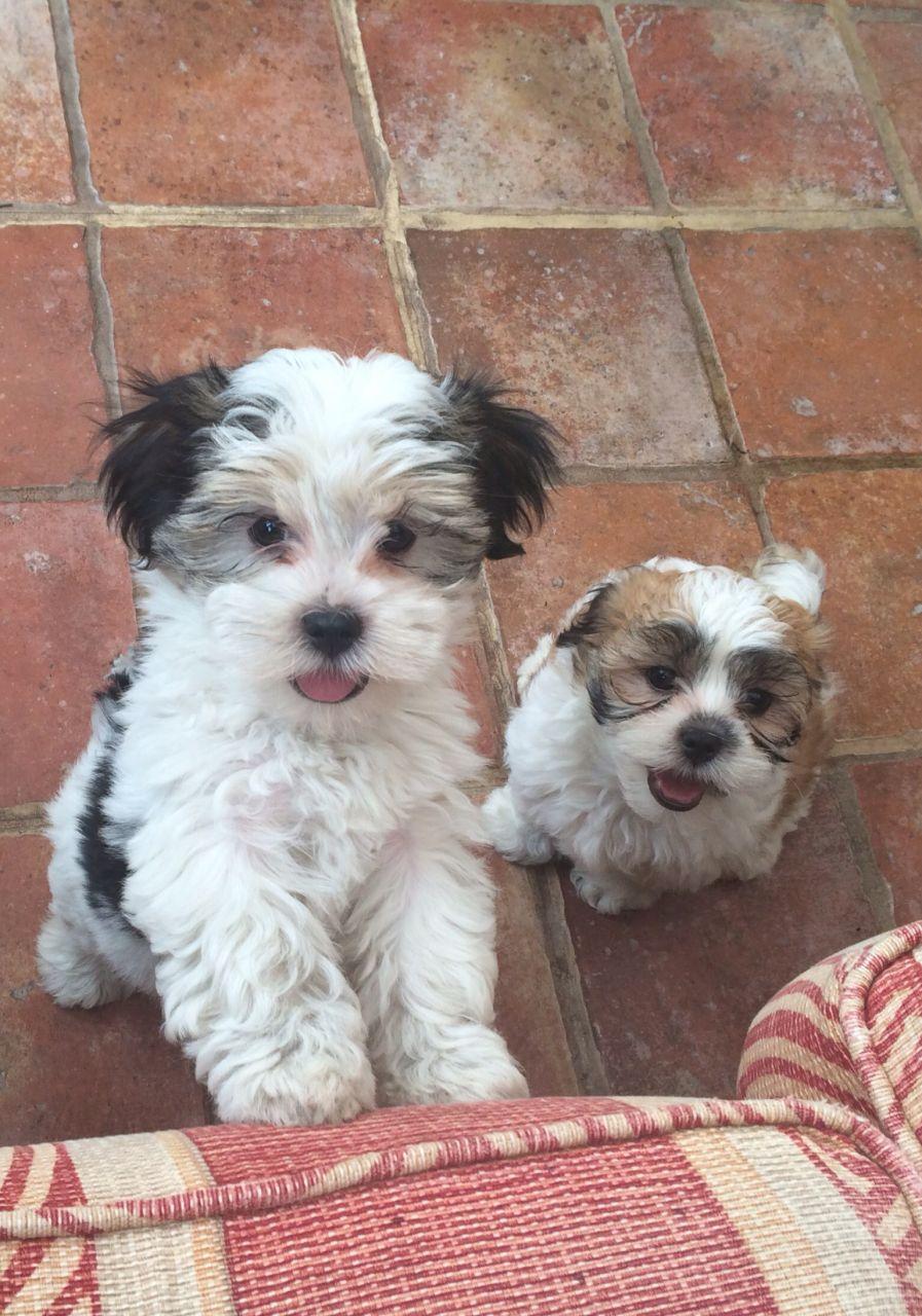 Kyi-Leo Puppies: Kyi Leo Lhasa X Maltese Kyi Leo Puppies Rotherham Breed