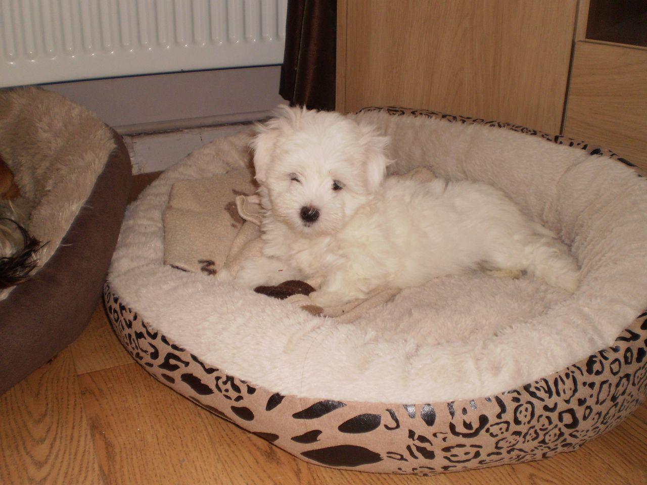 Kyi-Leo Dog: Kyi Leo Maltese X Lhasa Kyi Leo Manchester Breed