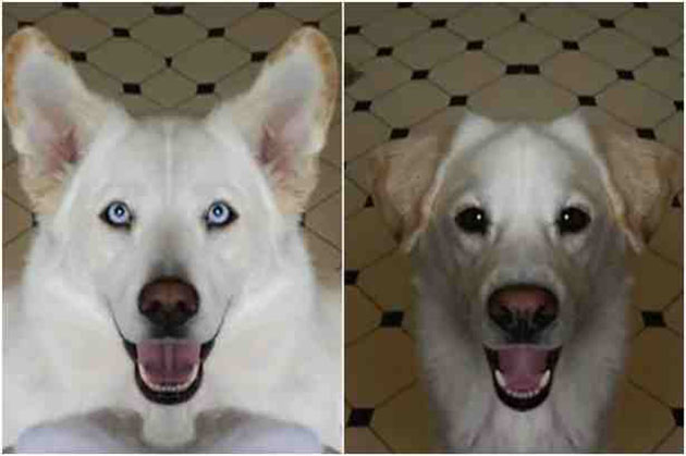 Labrador Husky Dog: Labrador Amazing Chimera Dog Is Half Labrador Retriever Half Siberian Husky Breed