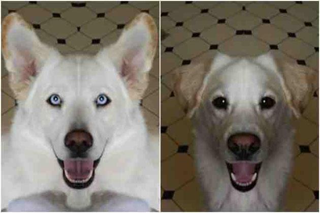 Labrador Husky Dog: Labrador Amazing Chimera Dog Is Half Labrador Retriever Half Siberian Husky Breed