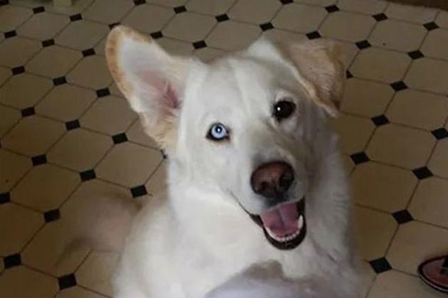 Labrador Husky Dog: Labrador Amazing Chimera Dog Is Half Siberian Husky And Half Labrador Retriever Breed