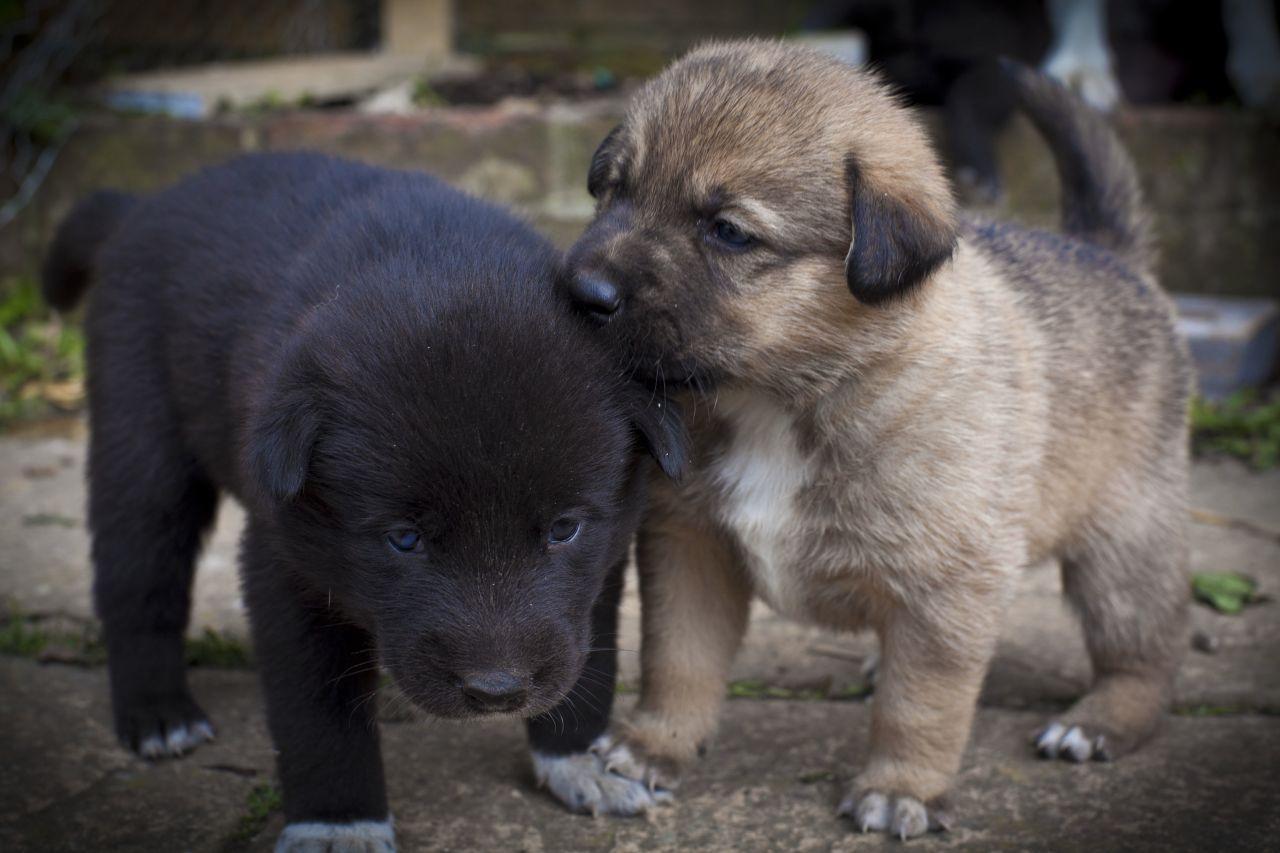 Labrador Husky Puppies: Labrador Beautiful Husky Labrador Collie Cross Puppies Brighton Breed