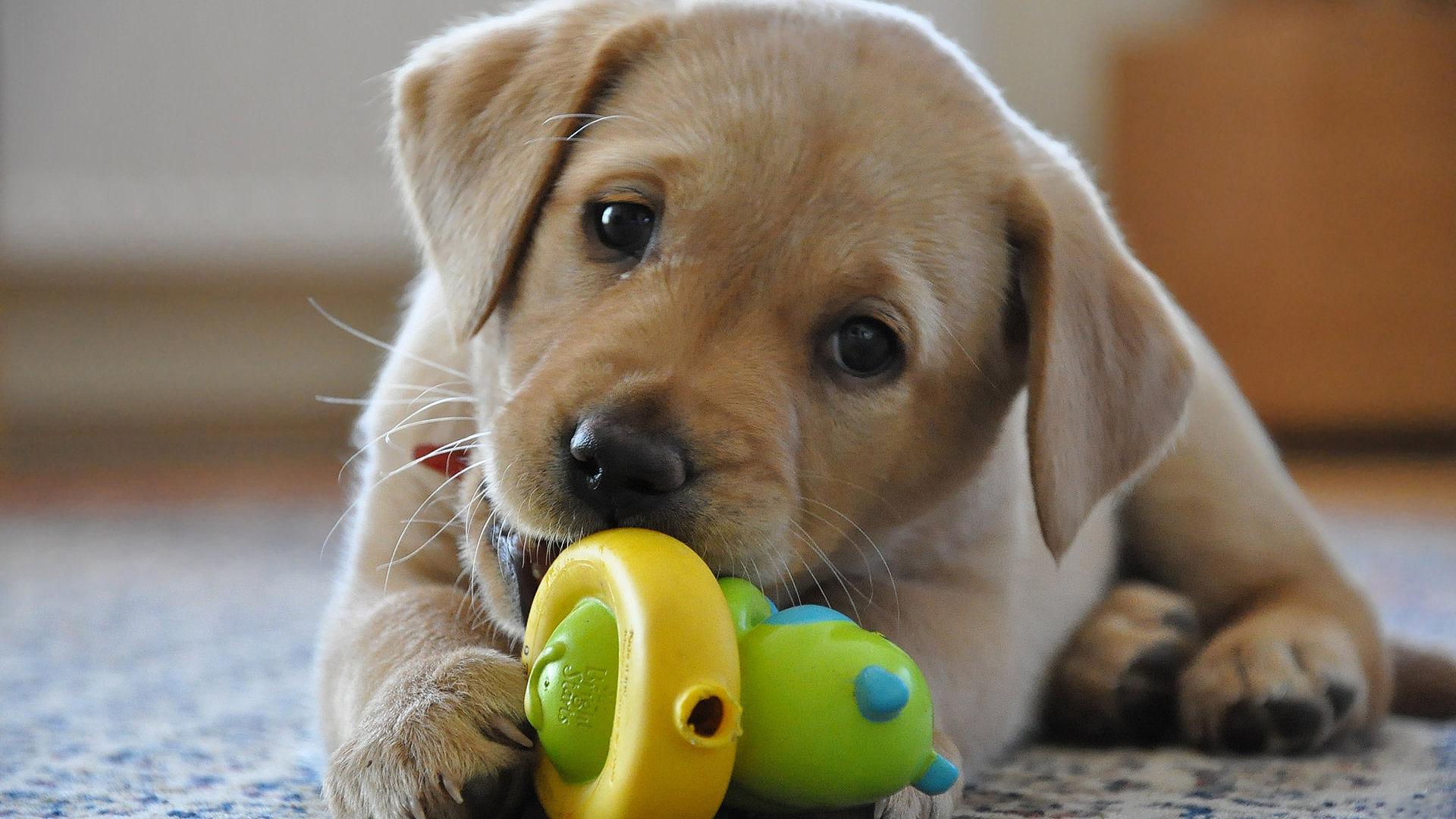 Labrador Retriever Puppies: Labrador Breed