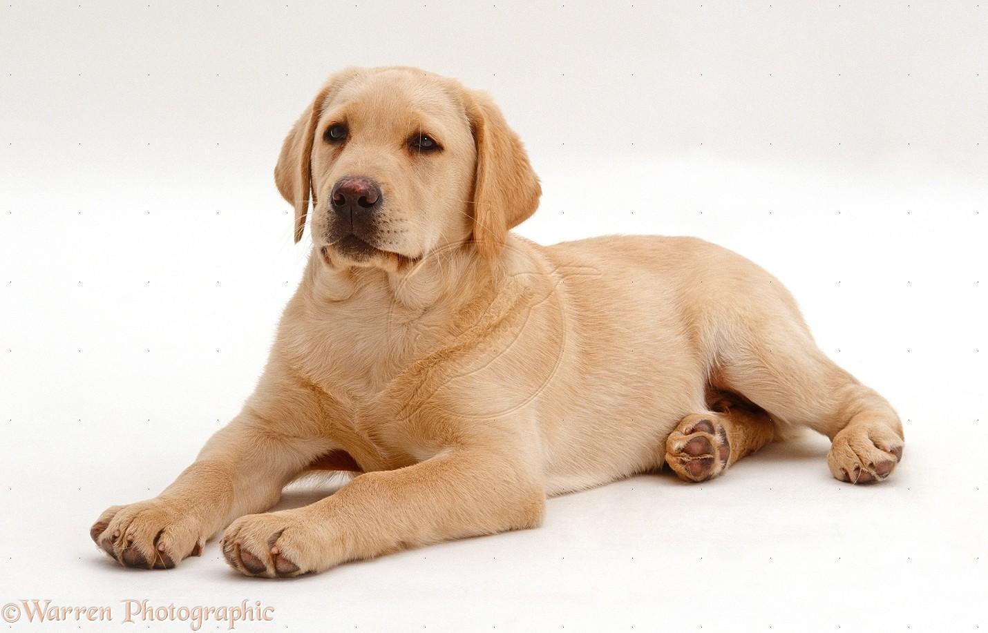 Labrador Husky Dog: Labrador Cool Labrador Dogs Breed