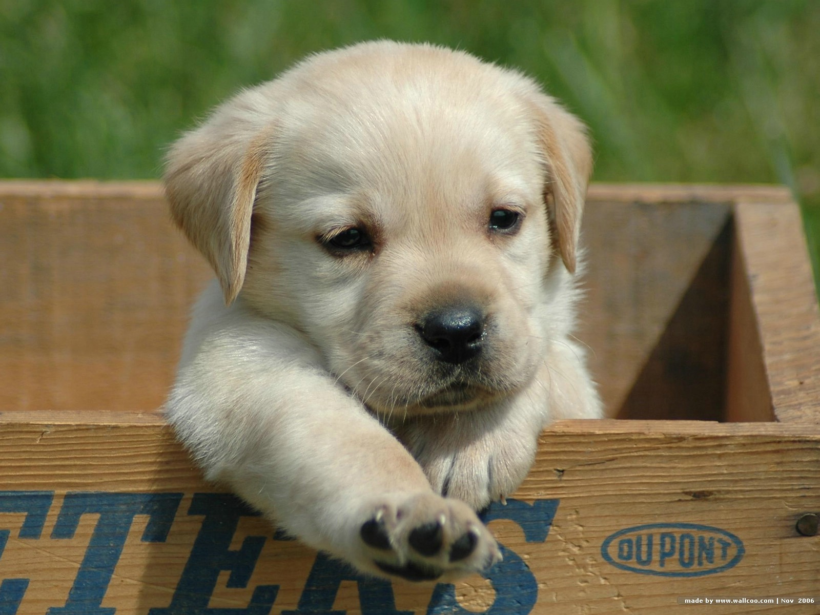 Labrador Retriever Puppies: Labrador Cute Labrador Retriever Puppy Breed