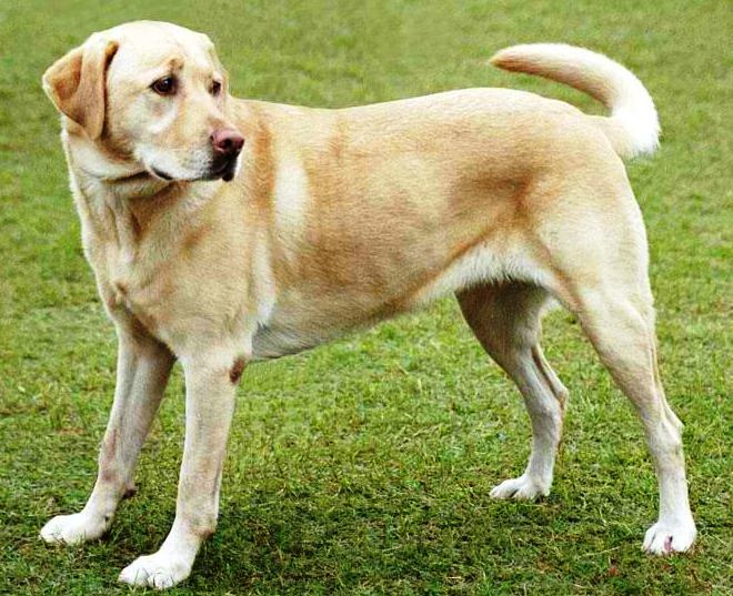 Labrador Retriever Dog: Labrador Dog Breeds Labrador Retriever
