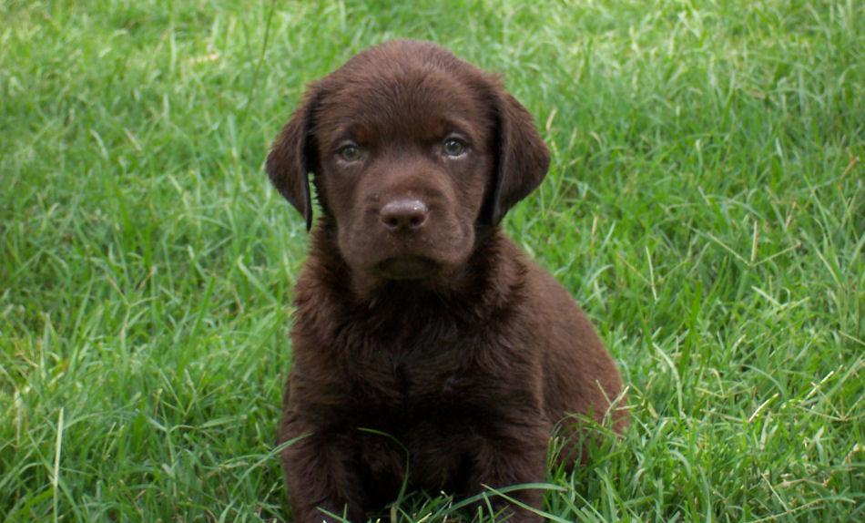 Labrador Retriever Puppies: Labrador Grey Labrador Retriever Puppies For Sale Breed