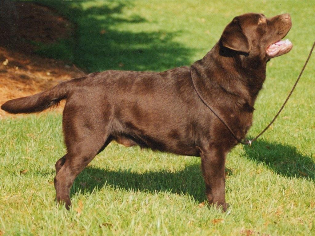 Labrador Retriever Dog: Labrador How To Care For A Labrador Retriever Breed