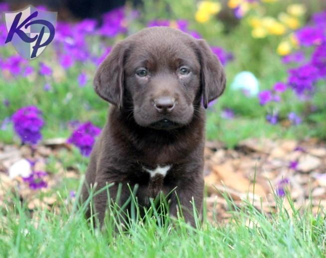 Labrador Husky Puppies: Labrador Husky Breed