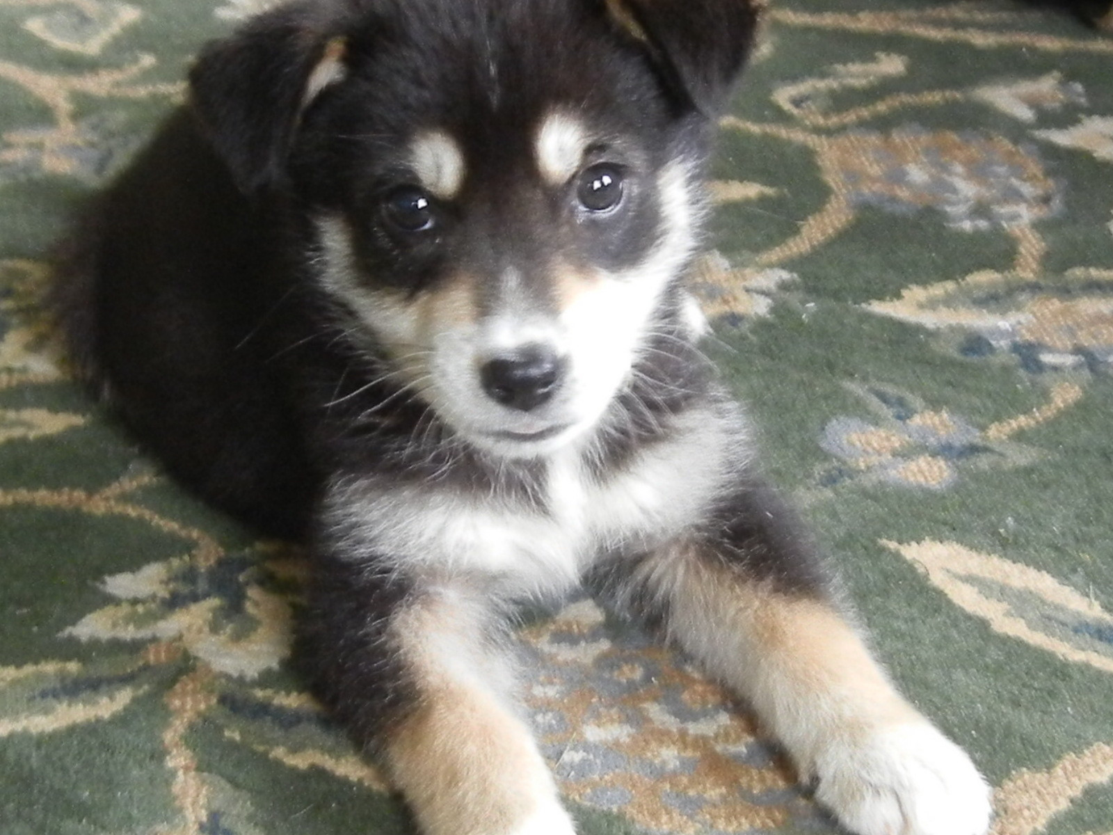 Labrador Husky Puppies Puppy Dog Gallery