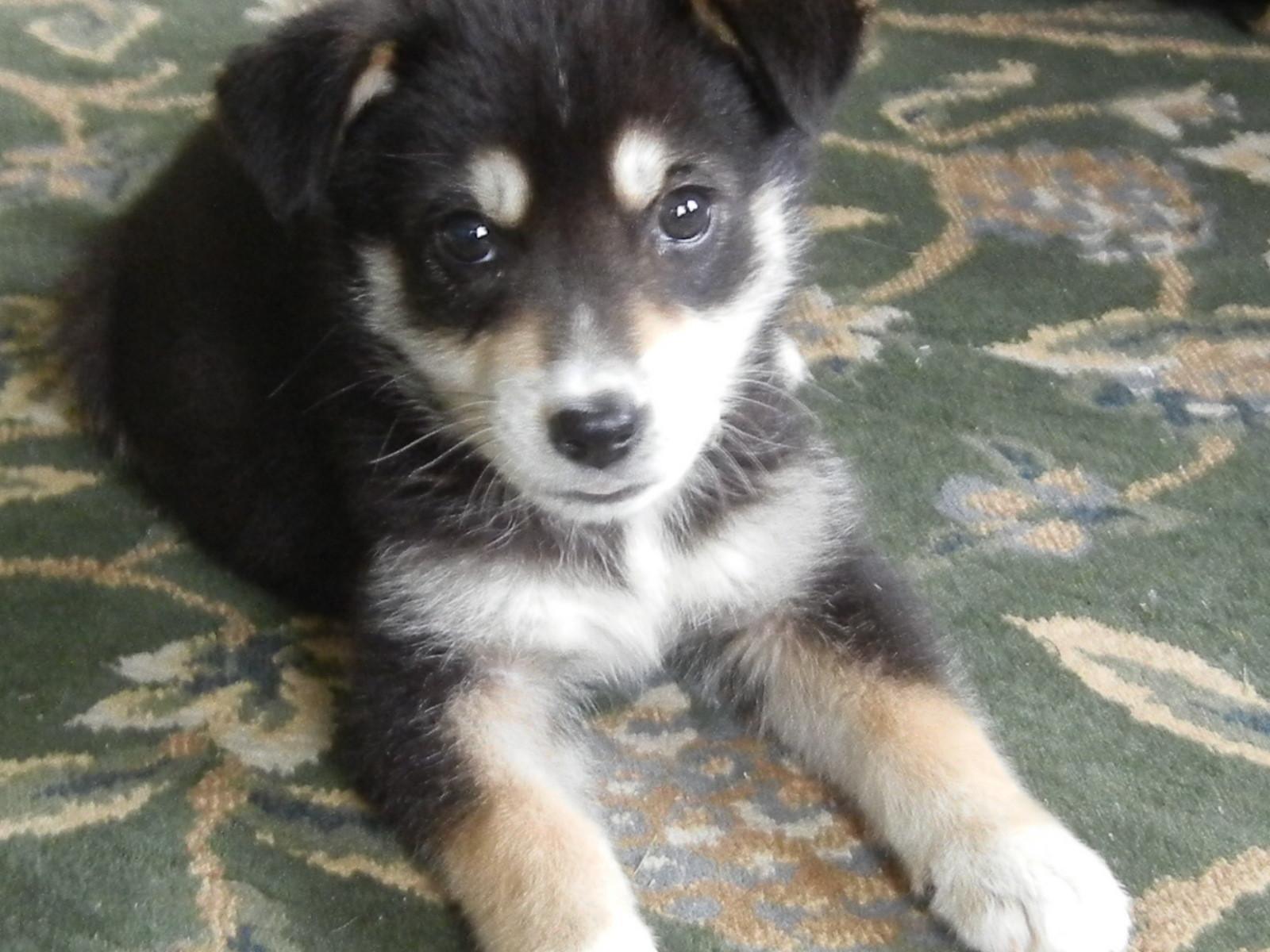 Labrador Husky Puppies: Labrador Husky Lab Mix Breed