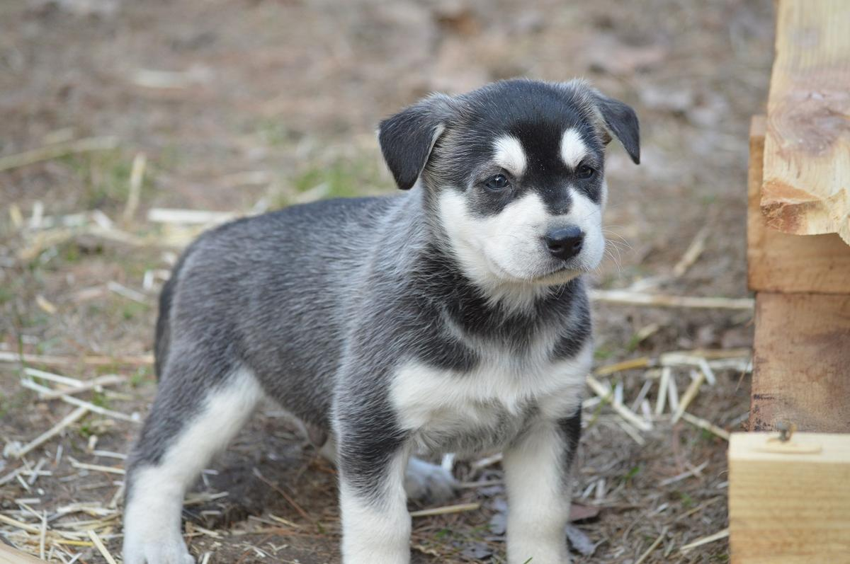 Labrador Husky Puppies: Labrador Husky Labrador Huskador Puppies Breed