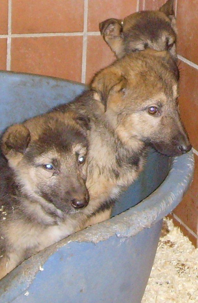 Labrador Husky Puppies: Labrador Husky Puppies London Breed