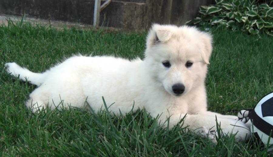 Labrador Husky Dog: Labrador Labrador Husky Breed