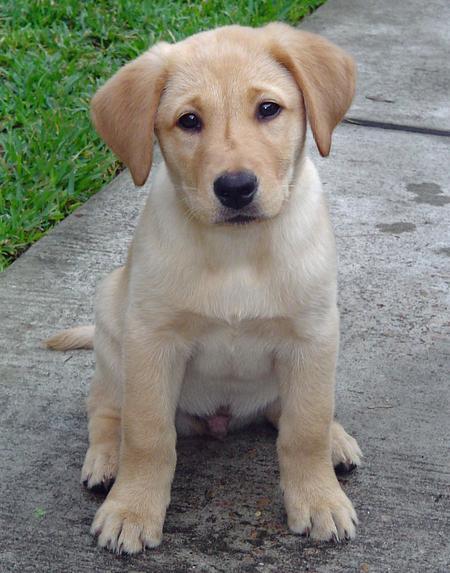 Labrador Retriever Puppies: Labrador Labrador Retriever Breed