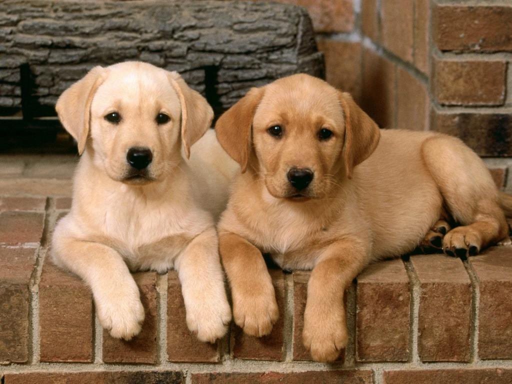 Labrador Retriever Puppies: Labrador Labrador Retriever Dog Breeders