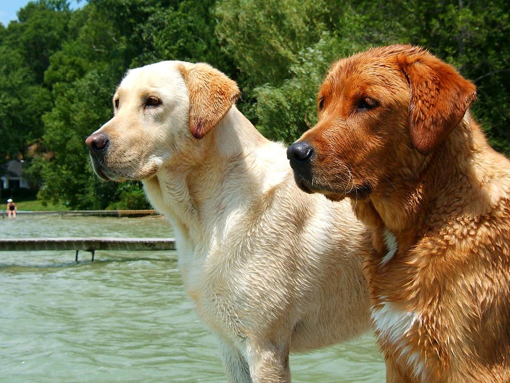 Labrador Retriever Dog: Labrador Labrador Retriever Fotos Breed