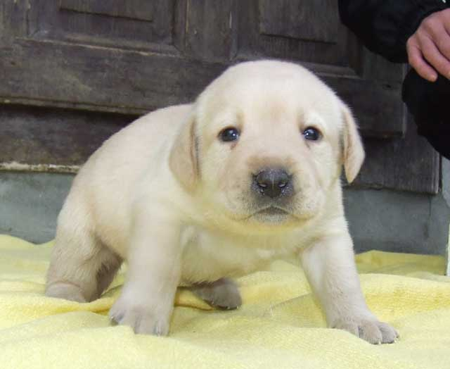 Labrador Retriever Dog: Labrador Labrador Retriever Pictures Breed