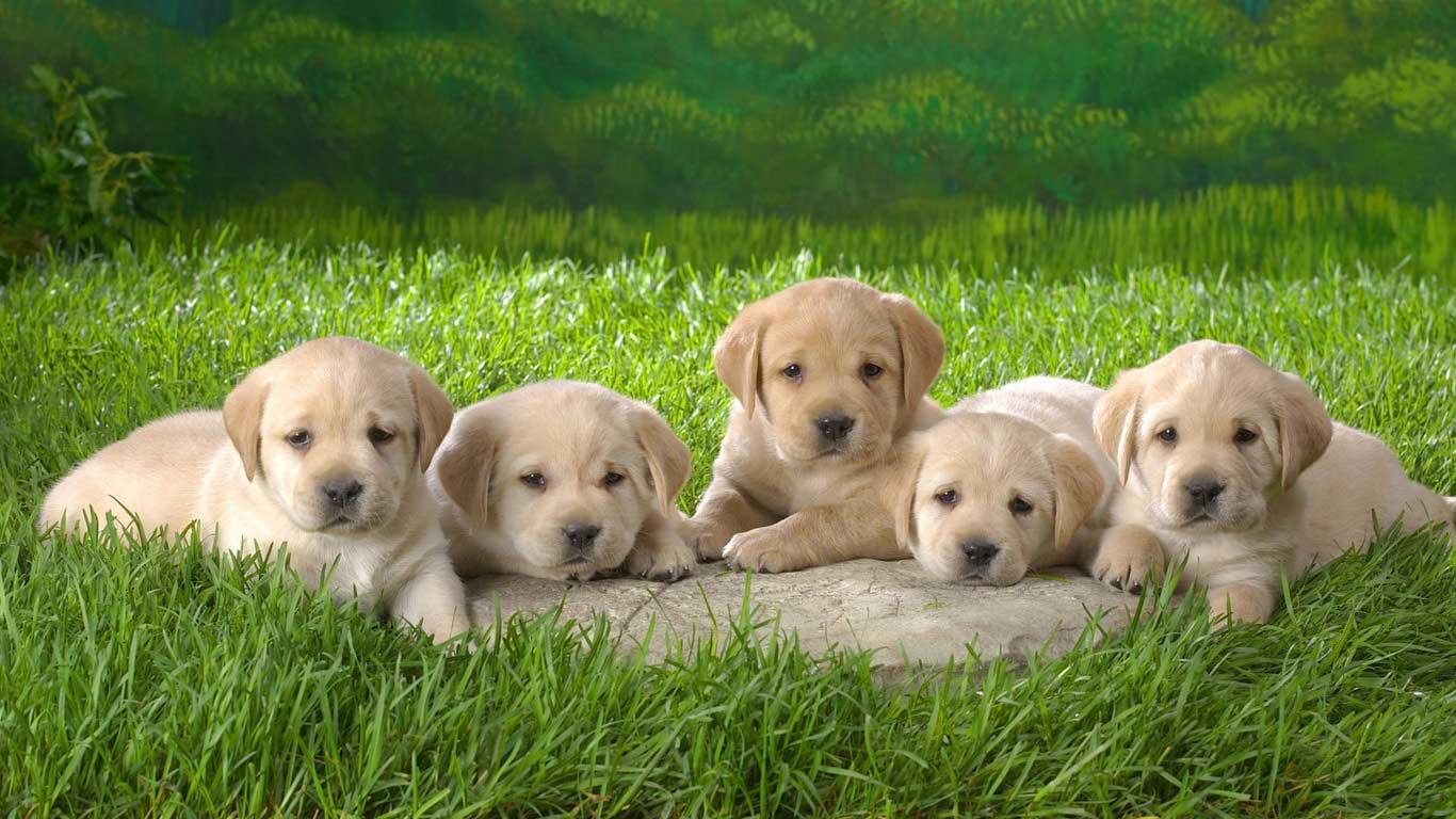 Labrador Retriever Puppies: Labrador Labrador Retriever Puppies Breed