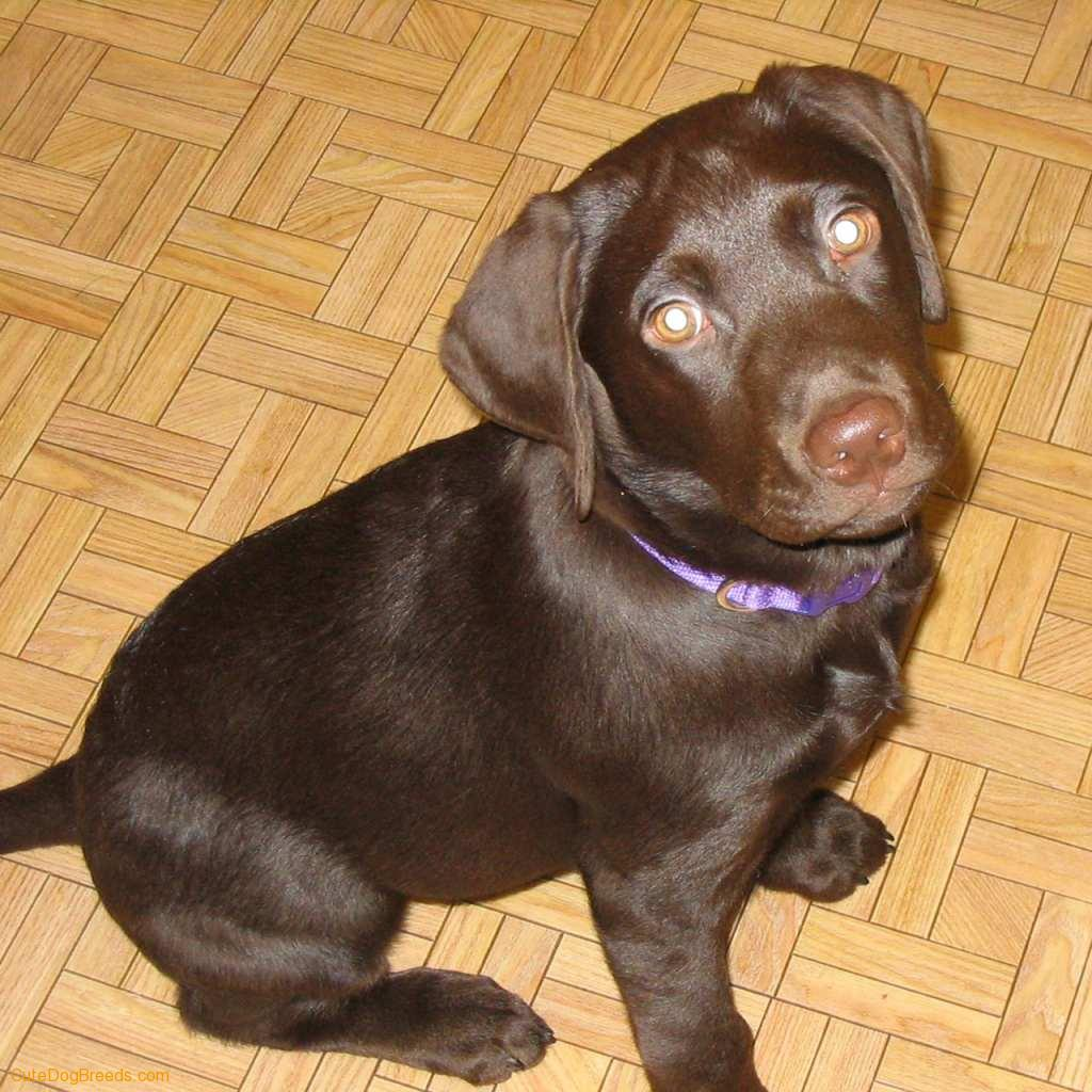 Labrador Retriever Puppies: Labrador Labrador Retriever Puppy Breed