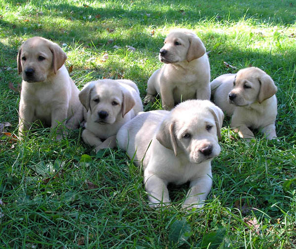Labrador Retriever Puppies: Labrador Labrador Retriever Puppy Pictures Breed