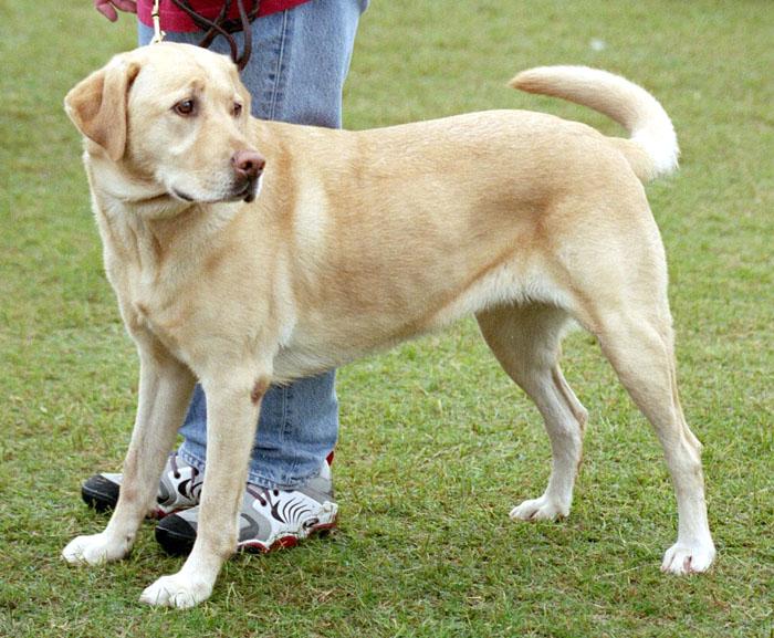 Labrador Retriever Dog: Labrador Labrador Retrievers Breed