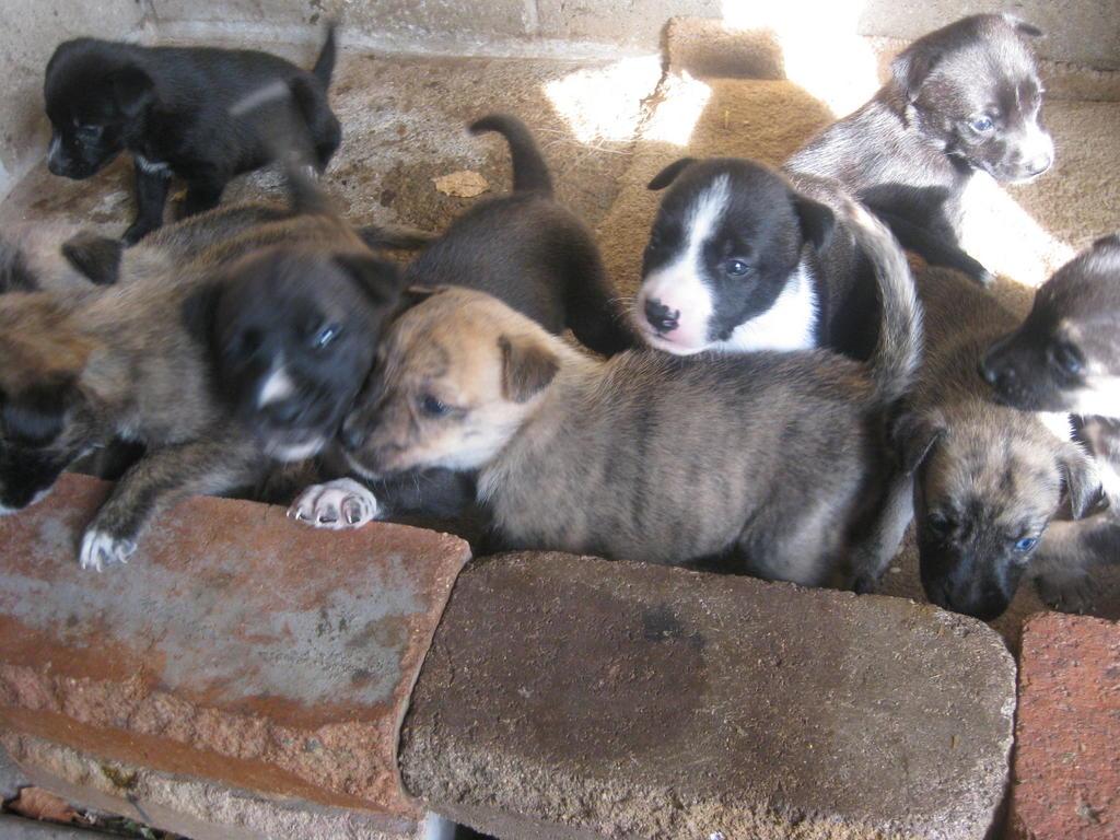 Labrador Husky Puppies: Labrador Labrador X Husky Puppiesnswlondonderry Breed