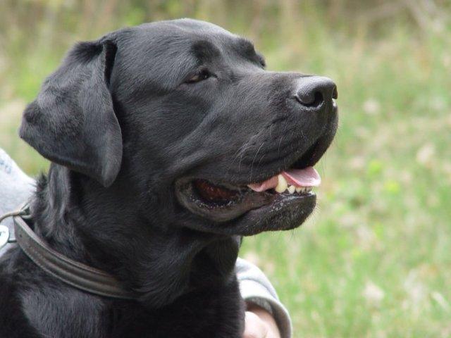 Labrador Retriever Dog: Labrador Labradorretriever Breed