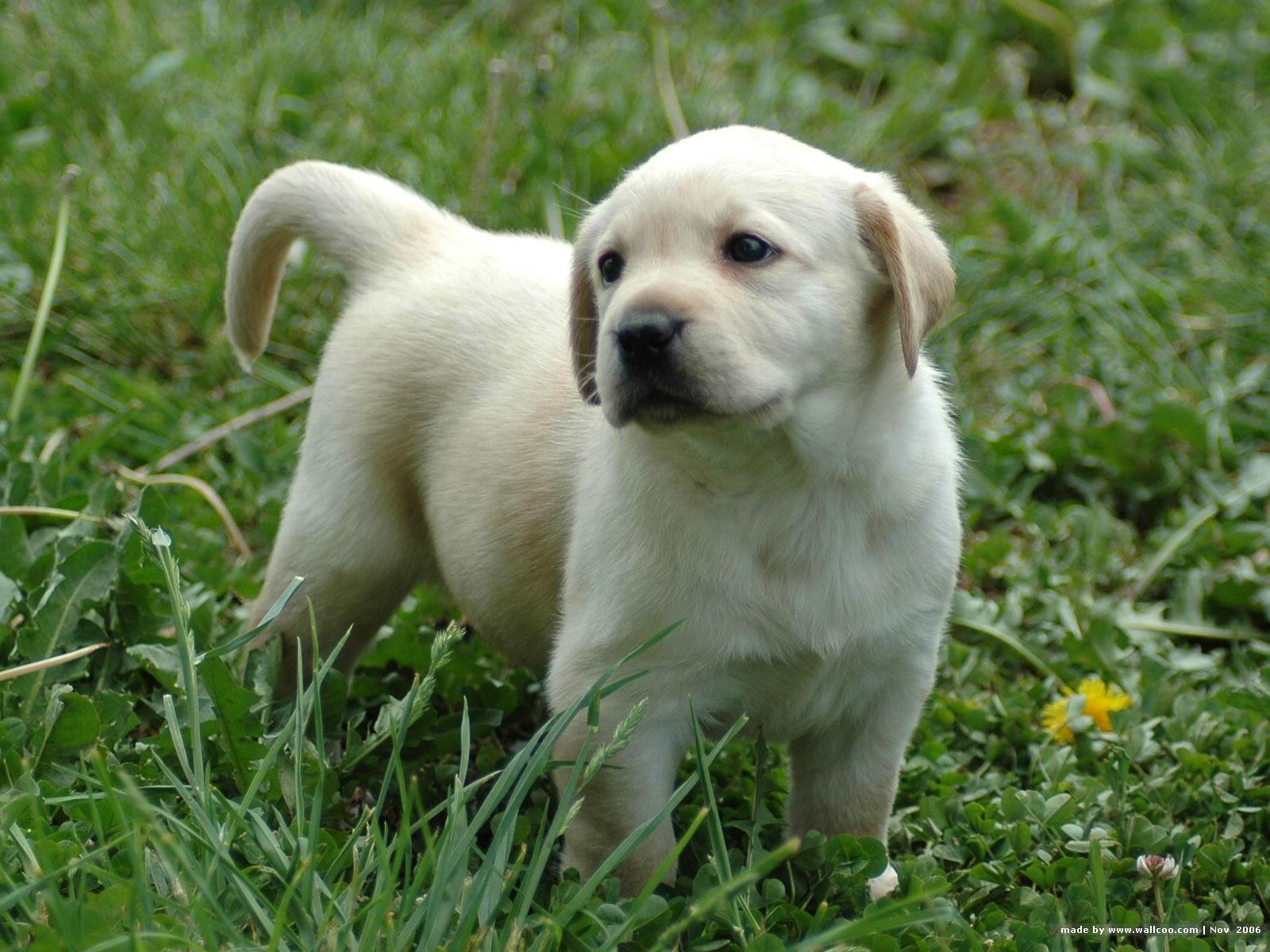 Labrador Retriever Puppies: Labrador Labradorretrieverpuppiesmqyeemfs Breed