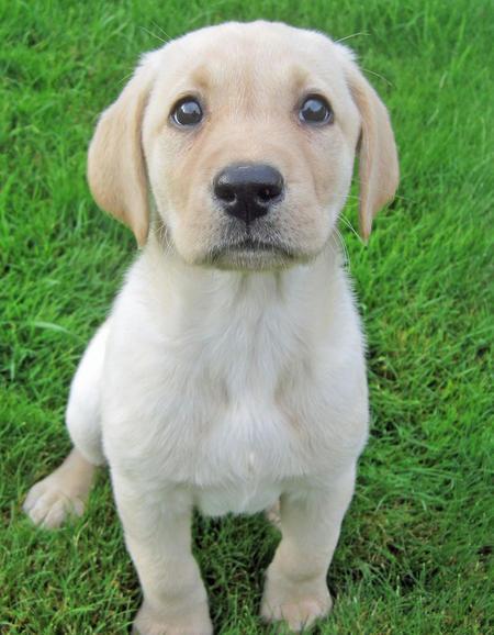 Labrador Retriever Dog: Labrador Penny The Labrador Retriever Breed