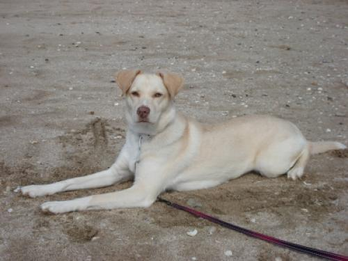 Labrador Husky Dog: Labrador Read Breed