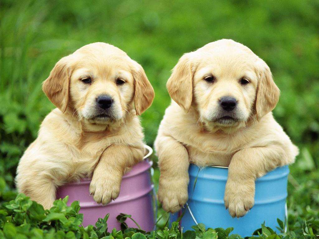 Labrador Retriever Dog: Labrador Smart Labrador Retriever Dogs Breed