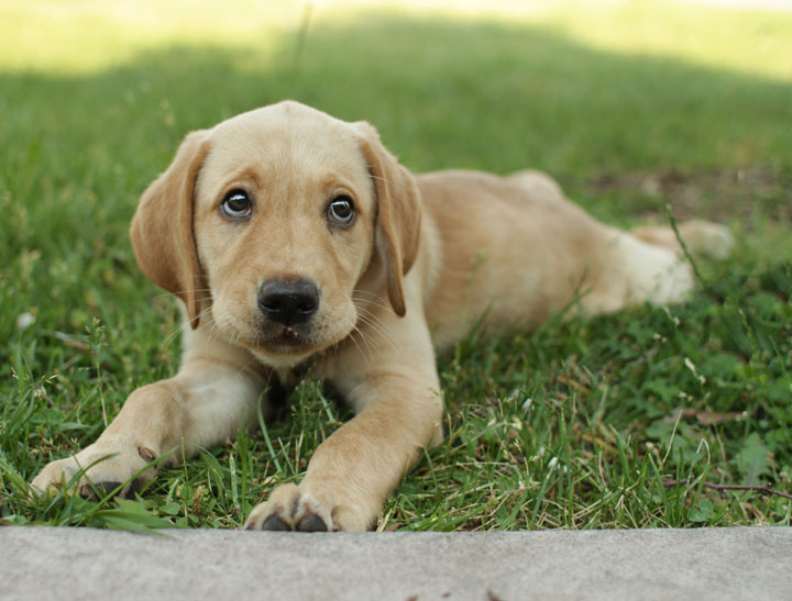Labrador Retriever Puppies: Labrador Sunny Labrador Retriever Puppy Breed