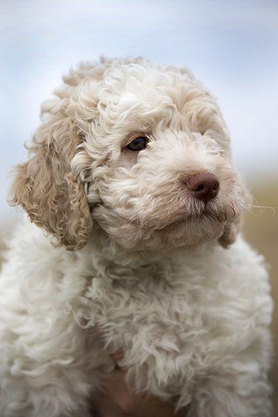 Lagotto Romagnolo Dog: Lagotto Breed