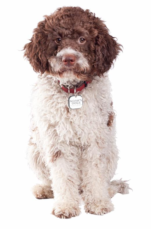Lagotto Romagnolo Dog: Lagotto Dog Breeds Talk About Dogs