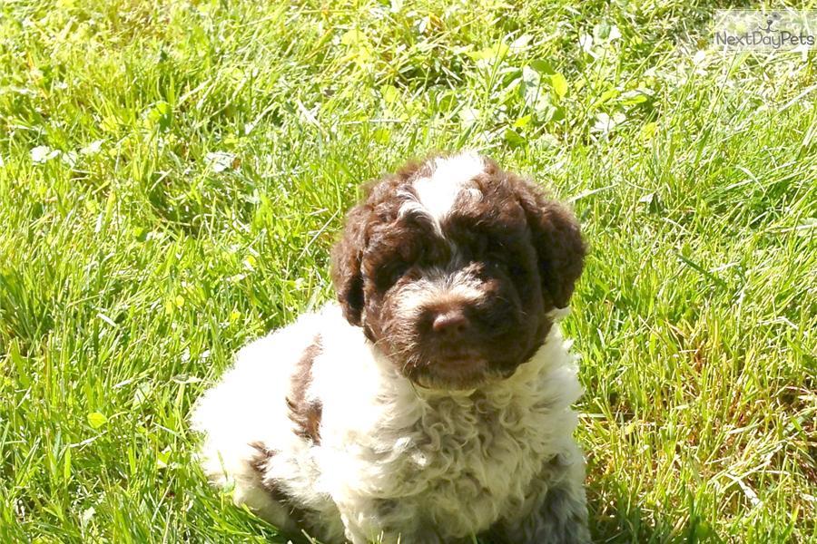 Lagotto Romagnolo Puppies: Lagotto Efd F Breed