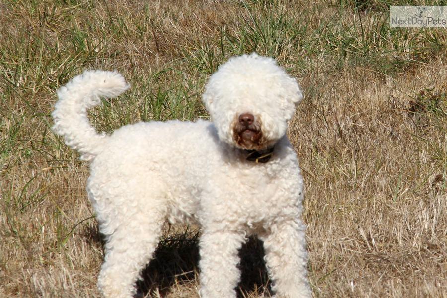 Lagotto Romagnolo Puppies: Lagotto Fa Breed