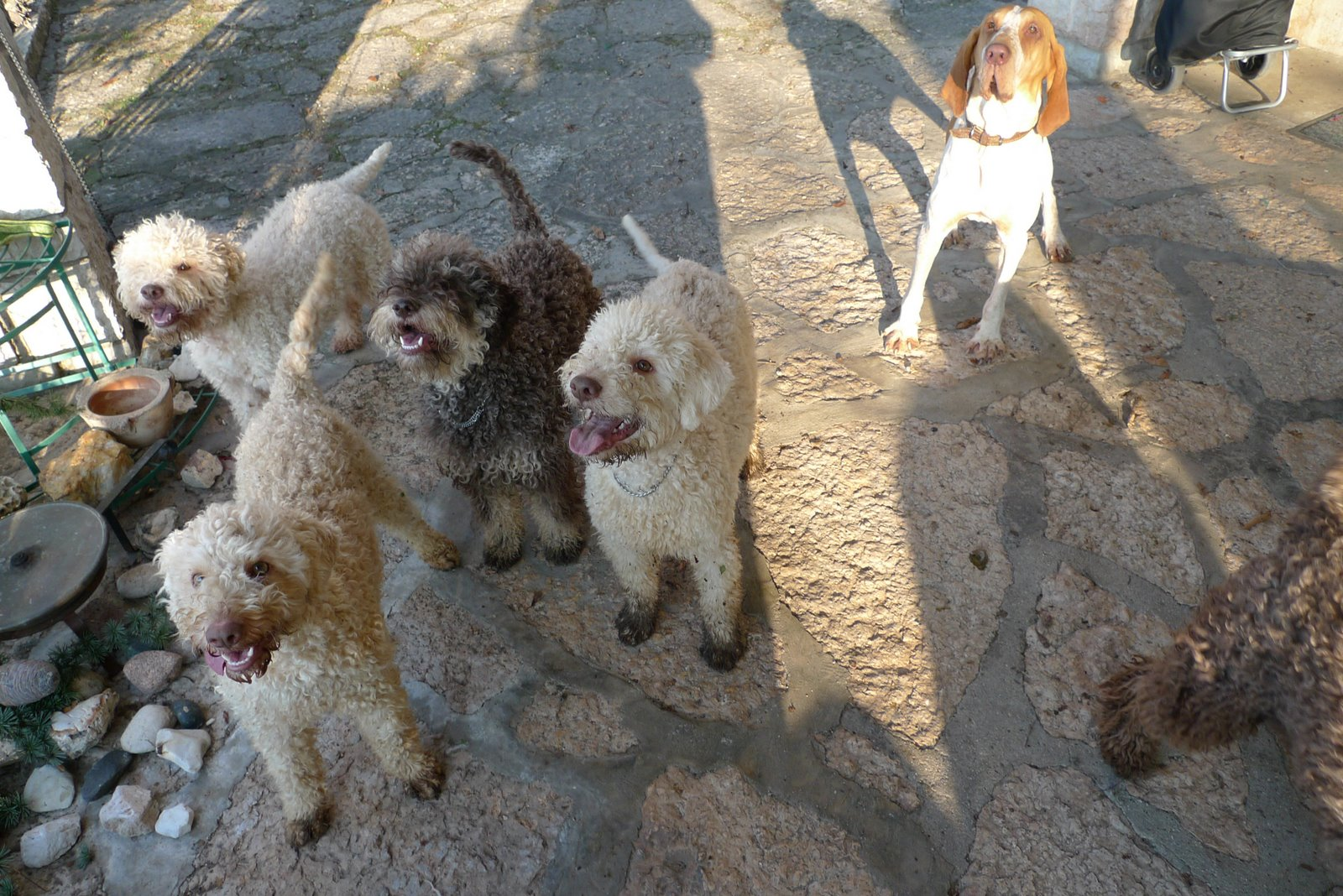 Lagotto Romagnolo Dog: Lagotto Funny Wirehaired Vizsla Dog The Snow And Beautiful Breed