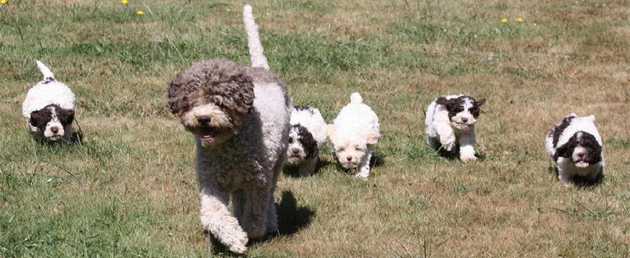 Lagotto Romagnolo Puppies: Lagotto Httpccwwwcompletedogsguidecomcscdog Breedsclargepicclagotto Romagnolo Puppiesjpg