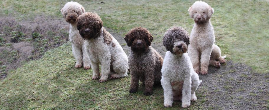 Lagotto Romagnolo Puppies: Lagotto Index Breed