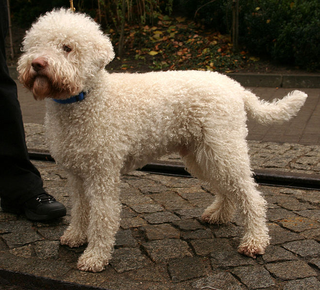 Lagotto Romagnolo Dog: Lagotto Lagotto Romagnolo Dog Breed