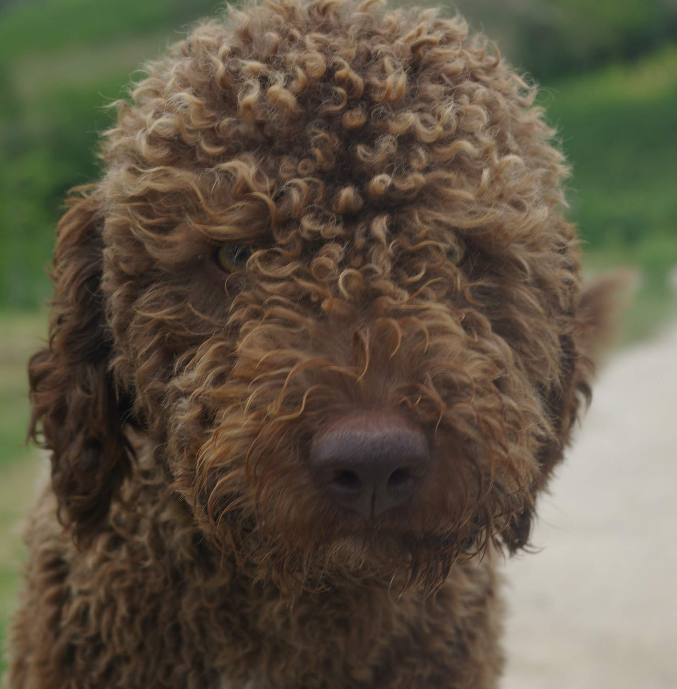 Lagotto Romagnolo Dog: Lagotto Lagotto Romagnolo Dog Face Breed