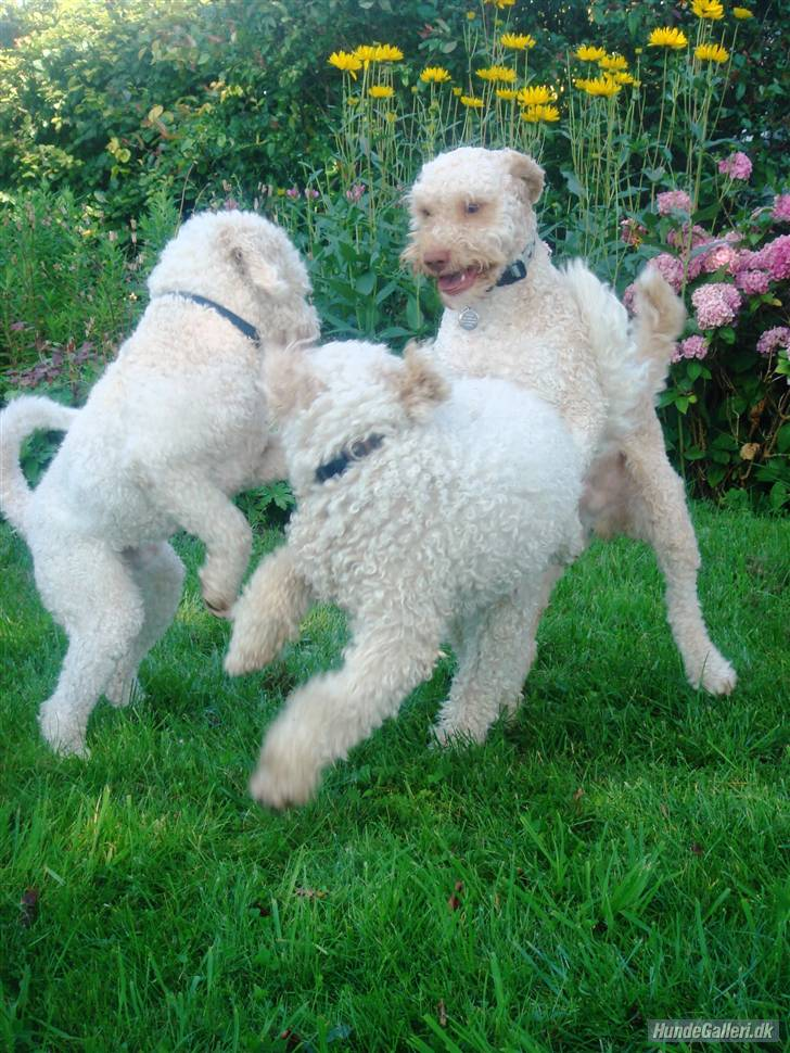 Lagotto Romagnolo Dog: Lagotto Lagotto Romagnolo Puppies Breed
