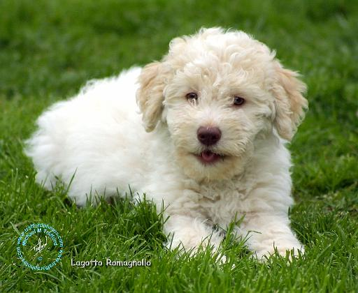 Lagotto Romagnolo Dog: Lagotto Lagottoromagnollotd Breed