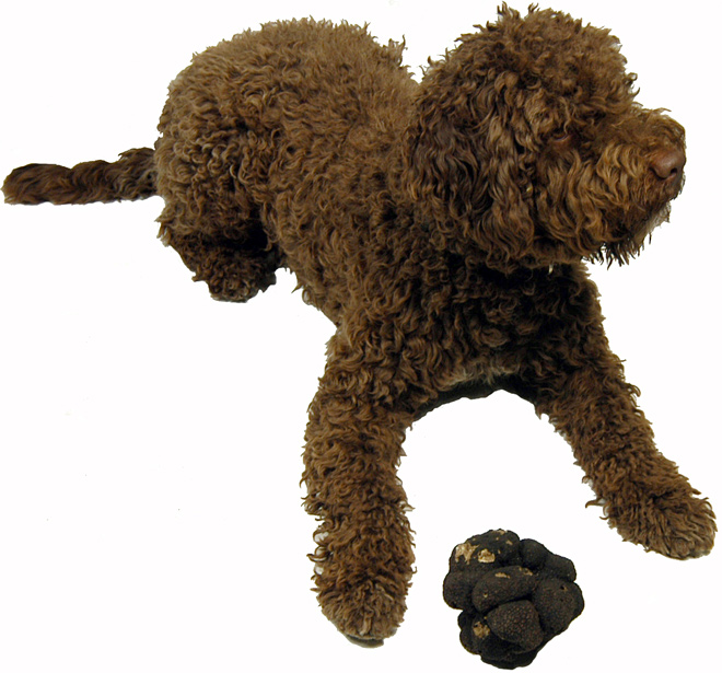 Lagotto Romagnolo Dog: Lagotto Lagottoromagnolo Breed