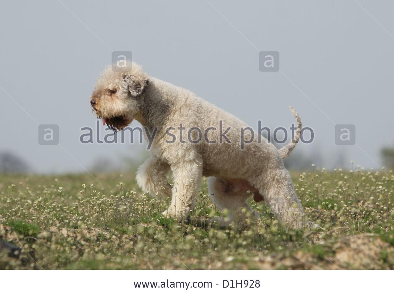 Lagotto Romagnolo Dog: Lagotto Stock Dog Lagotto Romagnolo Truffle Dog Standard Profile Breed
