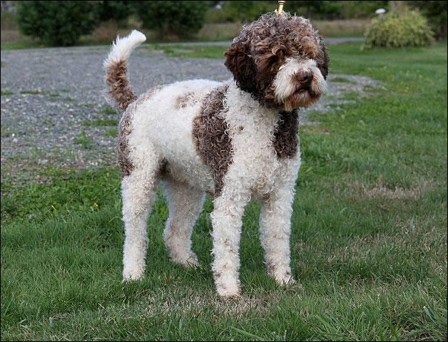 Lagotto Romagnolo Dog: Lagotto Top Rare Dog Breeds World