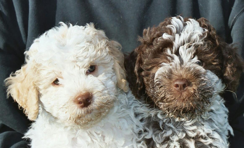 Lagotto Romagnolo Puppies: Lagotto Virtuaalilemmikki Breed