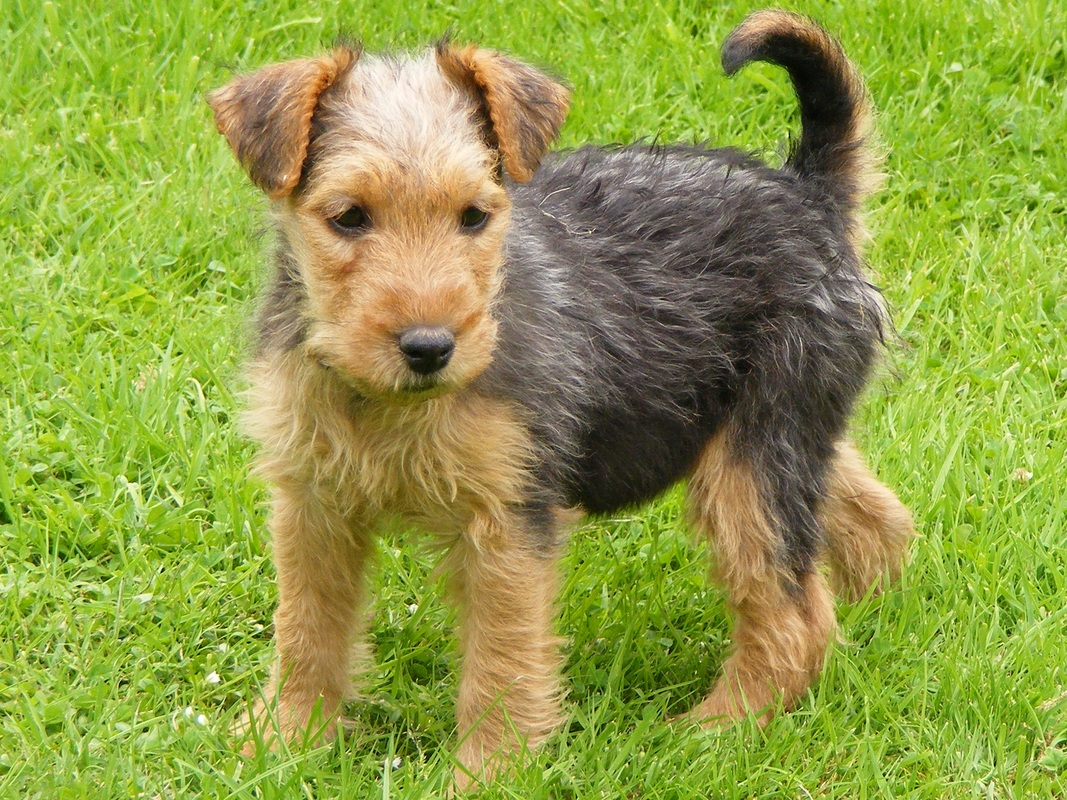 Lakeland Terrier Dog: Lakeland Akc Dog Breeds Lakeland Terrier