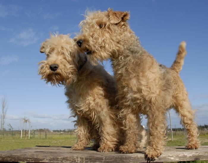 Lakeland Terrier Puppies: Lakeland Breed